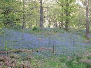 Grasmere Bluebells