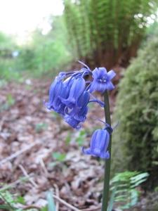 Beautiful Bluebell