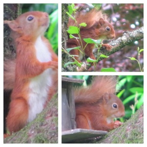 Allan Bank Red Squirrels