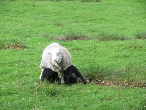 Grasmere Lamb