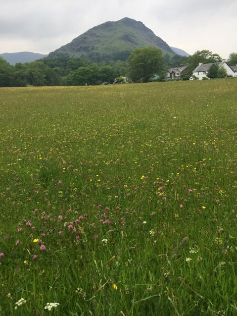 Wild flowers Grasmere