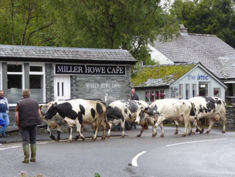 Grasmere Village Cows