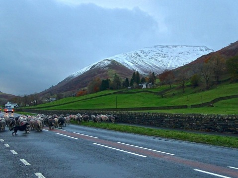 Grasmere Sheep