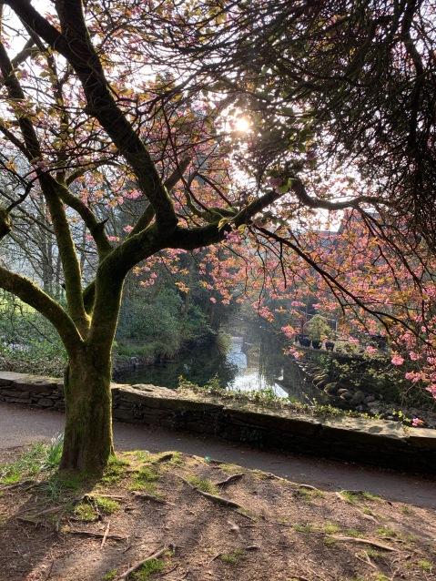 Grasmere Churchyard Cherry tree